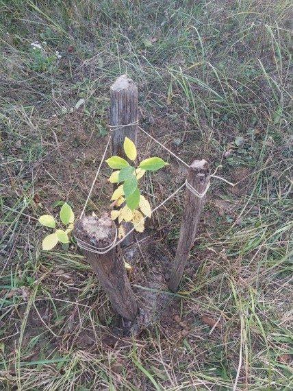 Frissen ültetett kis facsemete - Mindenki ültessen fát!
