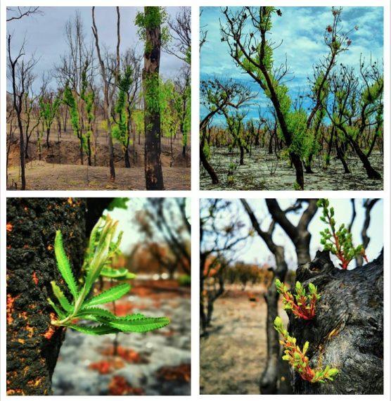 A képeken az ausztráliai tűzvész után fennmaradt elszenesedett erdőkben sarjadó új hajtások láthatók